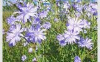 Лекарственные травы на букву Ц