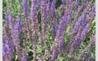 Лекарственные травы на букву Ш