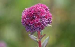 Очиток пурпурный (скрипун трава)