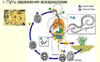 Схема развития жизненного цикла аскариды
