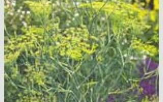 Лекарственные травы на букву У