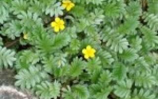 Травы в лечении язвы желудка