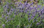 Лекарственные травы на букву И