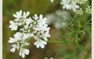 Лекарственные травы на букву К
